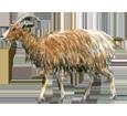 Goat ##STADE## - coat 7