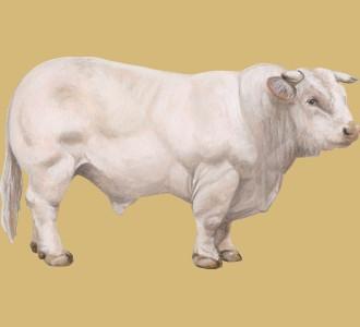 Take in a charolais bull species farm animal