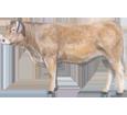 Charolais Bull ##STADE## - coat 7