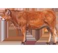 Limousin Bull ##STADE## - coat 82