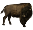 Bison ##STADE## - coat 26