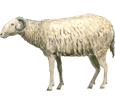 Sheep ##STADE## - coat 7