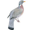 Wood Pigeon ##STADE## - coat 57