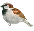 House Sparrow ##STADE## - coat 26