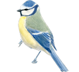 Blue Tit ##STADE## - coat 1