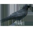 Crow ##STADE## - coat 51