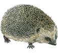Hedgehog ##STADE## - coat 52