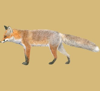 Take in a fox species farm animal